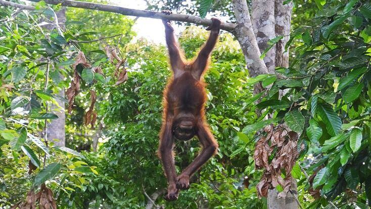 An orang-utan hanging out in mangrove forests in one of the best coastal destinations